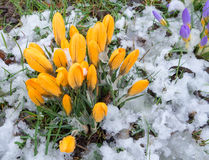 Crocuses in the snow Royalty Free Stock Photo