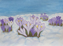 Crocuses in snow, illustration Royalty Free Stock Photography