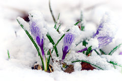 Crocuses in snow. Purple Crocuses pushing their way up through the snow royalty free stock images