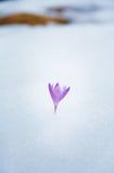 Crocuses in snow, purple spring flower . Royalty Free Stock Images