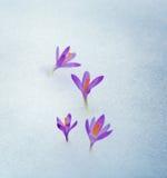 Crocuses in snow, purple spring flowers . Stock Photo