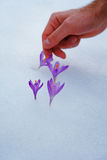 Crocuses in snow, purple spring flowers. With man hand Stock Photos