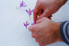 Crocuses in snow, purple spring flowers. With man hand. Stock Images