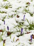 Crocuses in the snow Royalty Free Stock Photos