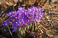 Crocuses in spring Royalty Free Stock Photo