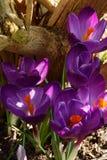 Crocuses in Spring Stock Photo