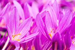 Crocuses in the spring Royalty Free Stock Photography