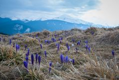 Crocuses in spring Carpathian mountains. stock photo