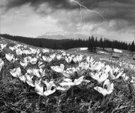 Crocuses spring Chornogory Stock Photography