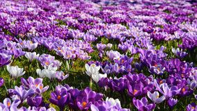 Crocuses in spring Royalty Free Stock Image