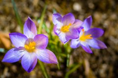 Crocuses in spring Royalty Free Stock Images