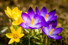 Crocuses in spring Stock Image
