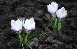 Crocuses. Spring day. Bright crocuses are in sunbeams Royalty Free Stock Photos