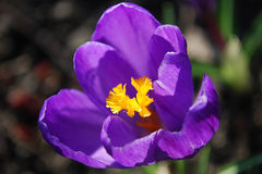 Crocuses. Spring day. Bright crocuses are in sunbeams Stock Photography