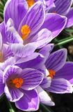 Crocuses. Spring day. Bright crocuses are in sunbeams Royalty Free Stock Image