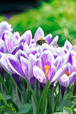 Crocuses on a spring day Royalty Free Stock Image