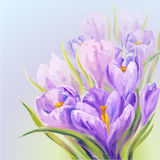Crocuses. Spring flowers invitation template card Stock Photography