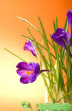 Crocuses Stock Image