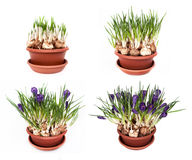 Crocuses spring flowers in a pot Royalty Free Stock Photo