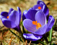 Crocuses in spring. Crocuses open their petals toward the springtime sunshine Stock Photo