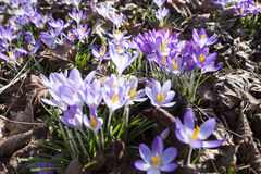 Crocuses in spring Stock Images