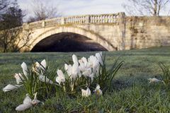 Crocuses and Stone bridge. Stone bridge over White Cart Water in Pollok park, Glasgow, Scotland with some crocuses in the foreground Stock Images