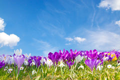 Crocuses in the sun Royalty Free Stock Images
