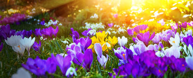 Crocuses in the sun. Colorful crocuses on a meadow in spring stock photo
