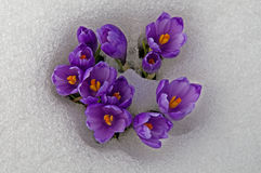 Crocuses surrounded with snow Royalty Free Stock Photo