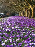 Crocuses in Szczecin Royalty Free Stock Images
