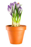 Crocuses in terracotta flower pot Stock Photos