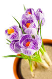 Crocuses in terracotta flower pot Stock Photography
