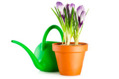 Crocuses in terracotta flower pot Royalty Free Stock Photo