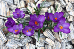 Crocuses,the top view. Stock Image