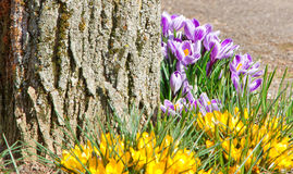 Crocuses on a tree Royalty Free Stock Photo