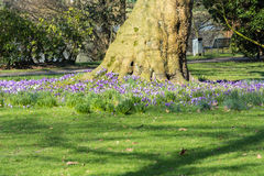 Crocuses with tree on a meadow. Royalty Free Stock Image