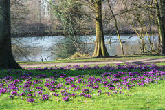 Crocuses with tree on a meadow. Stock Photo