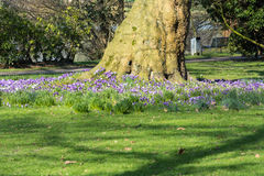 Crocuses with tree on a meadow. Stock Photos