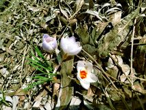 Crocuses on a tree on a spring day. Crocuses by a tree on a spring day. Warm and sunny spring day and small crocuses, spring flowers royalty free stock photos