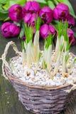 Crocuses and tulips Stock Photo
