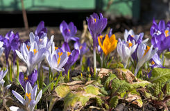 Crocuses Royalty Free Stock Photography
