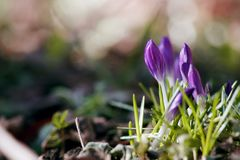 Crocuses , which are among the first to appear in early spring. Beautiful purple flowers - crocuses , which are among the first to appear in early spring and stock photos