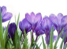 Crocuses on white. Purple spring crocuses on white backgraund Royalty Free Stock Image