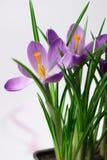 Crocuses on white background. Crocuses - flowers on white background royalty free stock image
