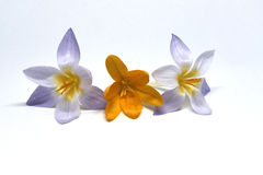 Crocuses on a white background Stock Photo