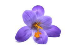 Crocuses on a white background Stock Images