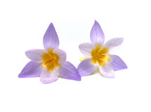 Crocuses on a white background Stock Image
