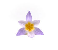 Crocuses on a white background Royalty Free Stock Images