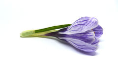 Crocuses on a white background Stock Photography