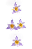 Crocuses on a white background Royalty Free Stock Photos